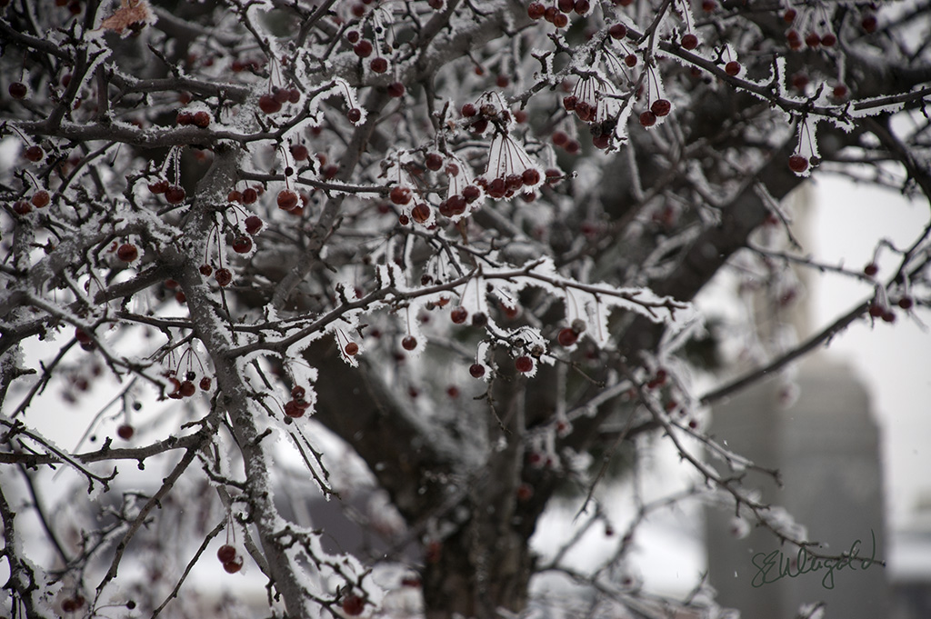 Iced Crabapples 1 sm