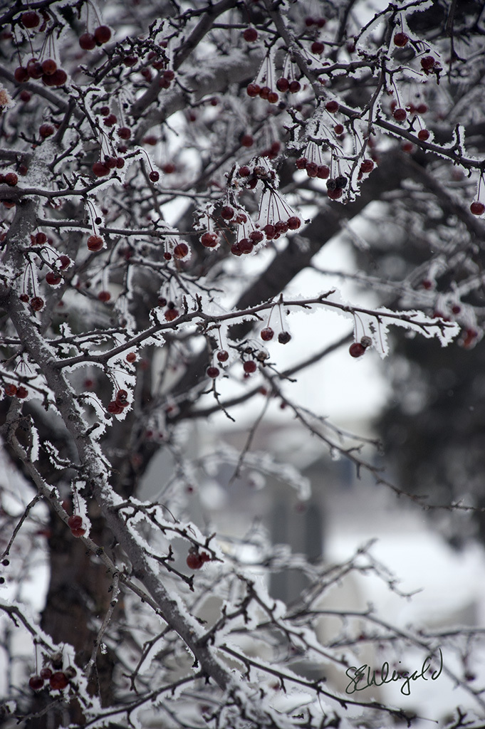 Iced Crabapples 2 sm